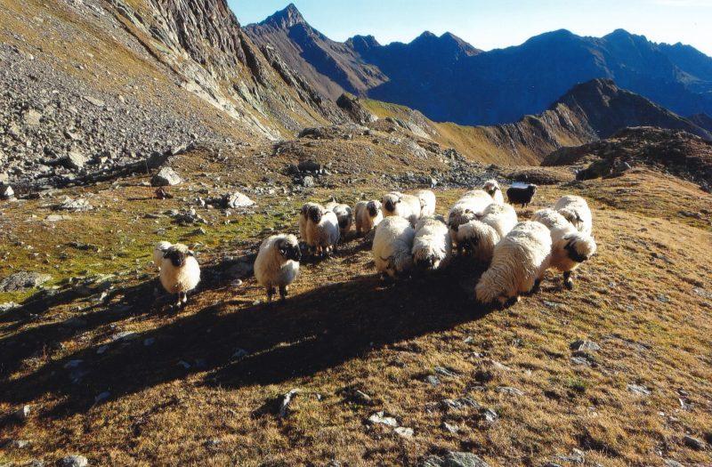Schafe des Mairer Peters im Hochgebirge
