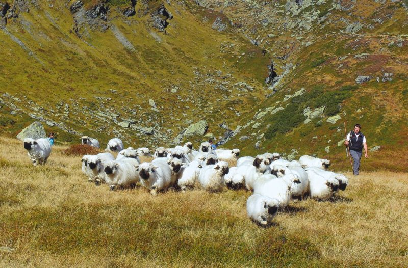Ehrensberger Christian beim gemeinsamen Abtrieb der Herde
