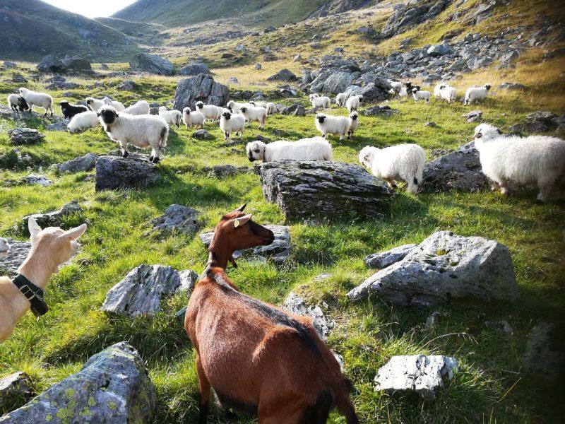 Nach einem schönen Sommer kommen die Schafe wieder in ihre Ställe . Saftige Wiesen erwarten sie großteils im Tal. Falls eine Geburt ansteht, hoffen wir, dass alles gut geht. Mögen die Schafe in Gesundheit den Winter vergringen. Sie freuen sich sicherlich schon wieder auf den Sommerurlaub auf den Bergen.
