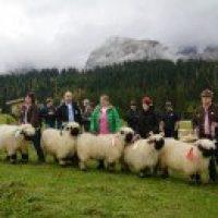 Ausstellung Walliser Schwarznasenschafe am 6. Oktober 2013 in Ehrwald/Tirol