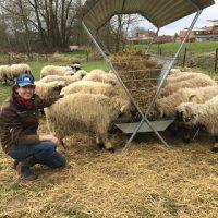 Walliser Schwarznasenschafexport nach Belgien