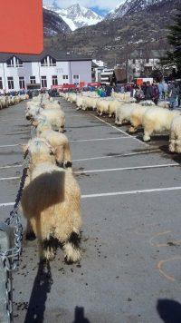 Besuch beim Widdermarkt in Visp