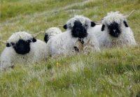 Jahreshauptversammlung des Tiroler Schafzuchtverbandes