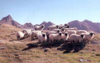 Schafe auf Sommerfrische