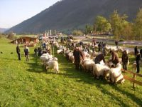 Gelungene Walliser Schwarznasenausstellung bei der Schafschau am 27. September in Rauris